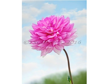 floral,pink flowers digital download photography, fine art Dahlia, instant printable, blue sky,close up,full frame,original,garden flower,