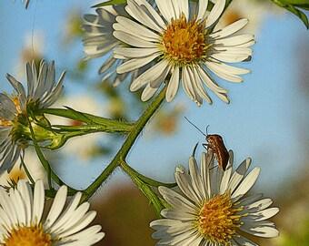"Greeting Card ""Daisy Cricket"" digitally enhanced nature photography - flowers"