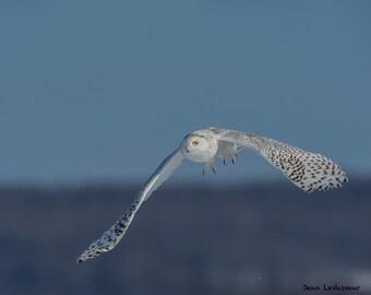 Snowy Hunter / Hunting Snowy Owl