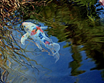 Koi fish with  reflections in pond