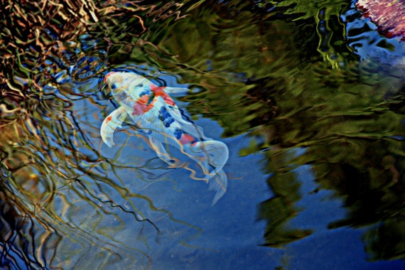 Koi fish with reflections in pond for Where to buy koi fish near me