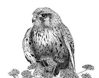 Kestrel Drawing Print A4