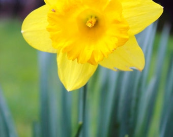 Flower Photography Flower Print Wall Art Home Decor Nature Photography Fine Art Photography Yellow Daffodil