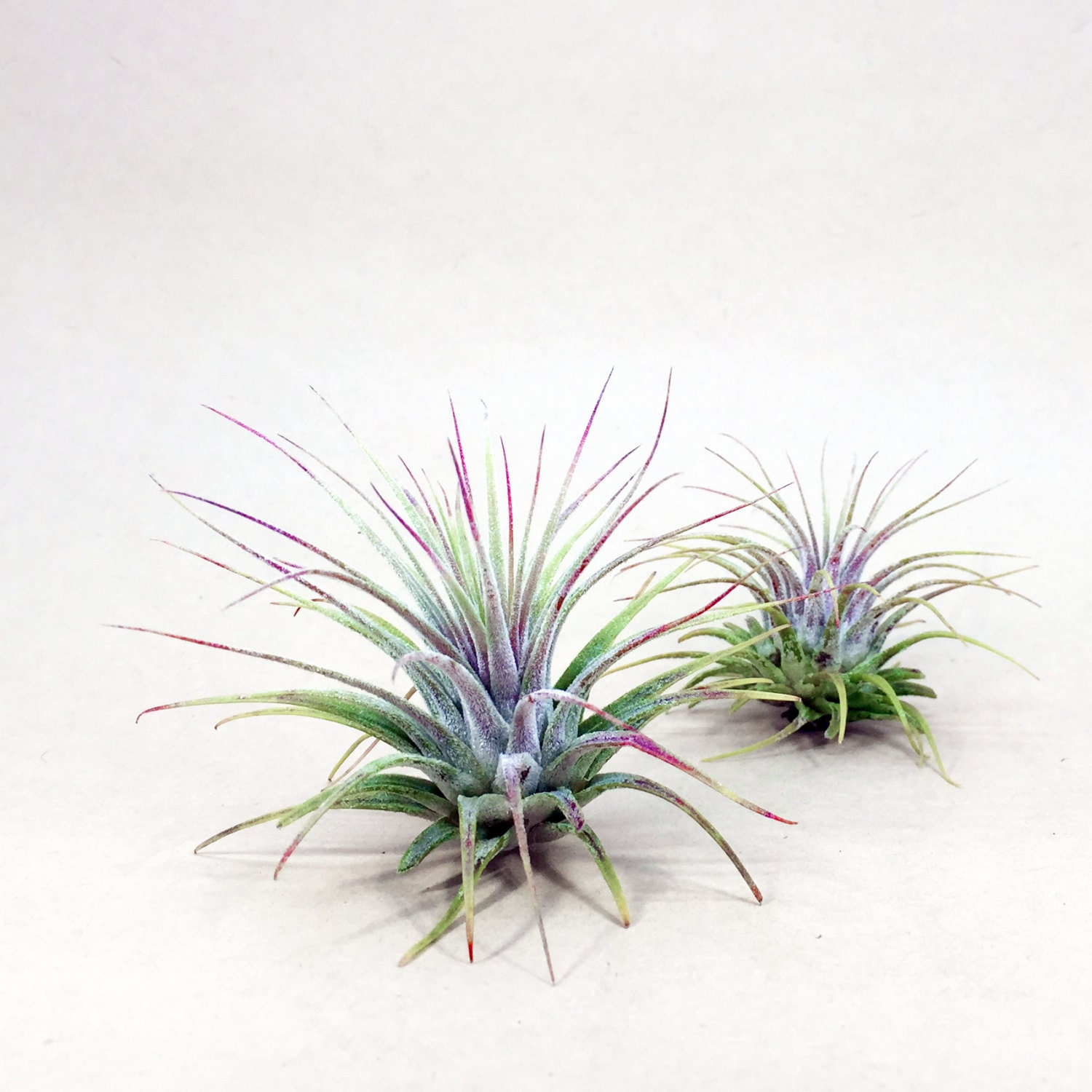 Tillandsia ionantha air plant hello tilly airplant for Air plant planters