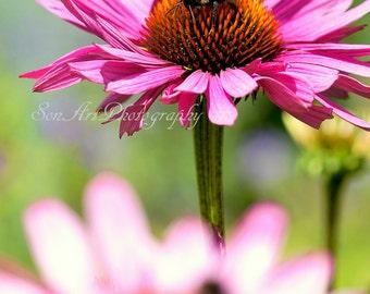 Bumblebee on flower of Echinacea purpurea  - Original Digital Photograph Instant Download