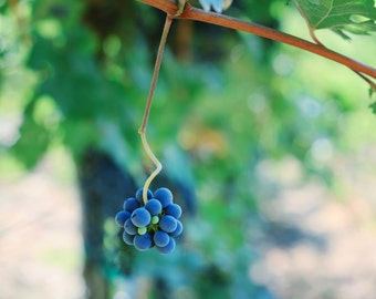 Napa Valley Dark Blue and Light Green Colorful Grapes