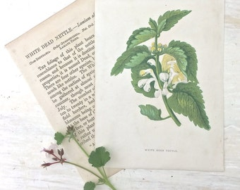 1883 Anne Pratt Wild Flower Botanical Print Book Plate White Dead Nettle