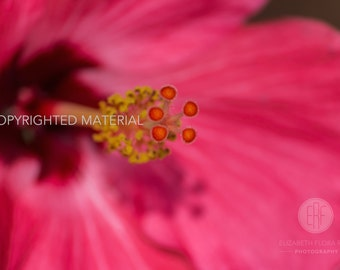 Hibiscus, Flower Photography, Flowers, Fine Art Prints, Nature Photography, Photos, Pink