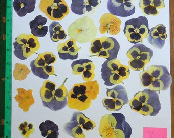 Real Dried and Pressed Flowers 30 Assorted Pansy or Viola in Blues and Yellows Ready for your project Ready to Ship