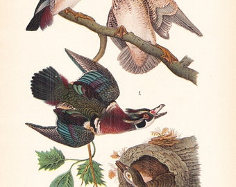 1890 Audubon Bird Print - Wood Summer Duck - Vintage Antique Book Plate for Natural Science or History Lover Great for Framing 100 Years Old