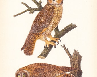 1890 Audubon Bird Print - Long Short Eared Owl - Vintage Antique Book Plate Natural Science History Illustration Framing 100 Years Old