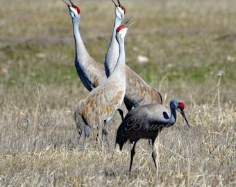 Sandhill Cranes Calling Fine Art Photo - Crane Photos - Crane Wall Art - Sandhill Cranes at Malheur National Wildlife Refuge