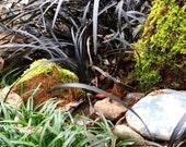 Black Mondo Grass Seeds (Ophiopogon planiscapus 'nigrescens')