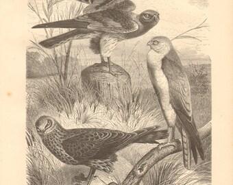 1878 Harriers, Hen Harrier - Circus cyaneus, Montagu's Harrier - Circus pygargus, Pale Harrier - Circus macrourus Original Antique Engraving