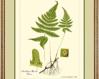 NORTHERN BEECH FERN - Vintage Botanical print reproduction 500