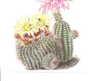 1954 Vintage cactus illustration Echinocereus fitchii Notocactus scopa art Purple Cactus flower Yellow Cactus flower art  Botanical poster