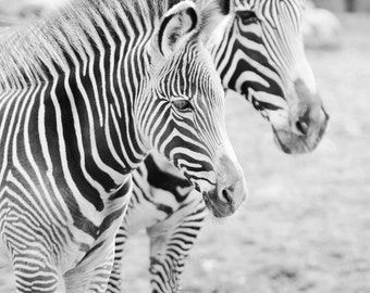 Zebras art photo print, nursery art wall decor, paper or canvas picture, black and white stripes, animal photography 8x10 11x14 16x20 20x30