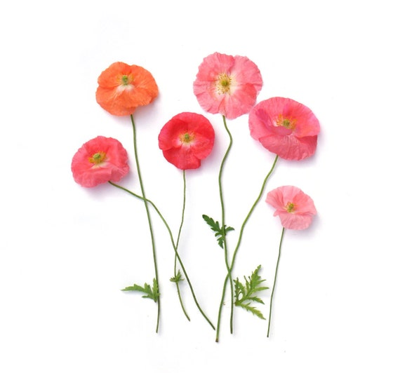 Pink Poppies ~ note card ~stationery ~ pink flowers ~ summer flowers ~ poppy