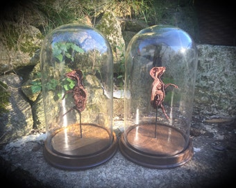 Bissected Mummified Pig Fetus in Glass Dome - Cabinet of Curiousity - Gothic Decor
