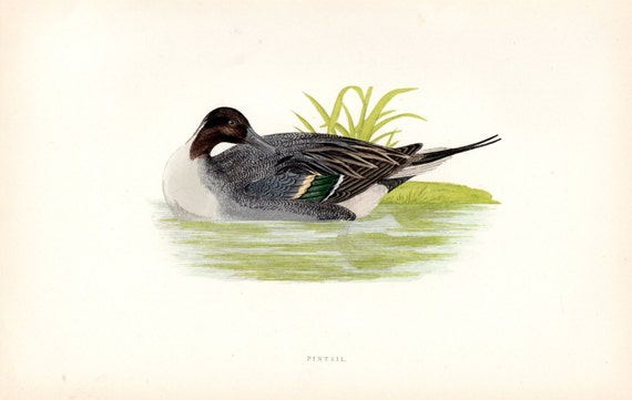 Pintail Duck Print 1892 Antique Bird Print Morris Birds