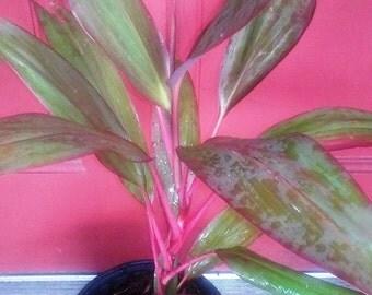 Cordyline Fruticosa, Beautiful Houseplant Hawaiian Ti Plant, live plant growing in a gallon pot