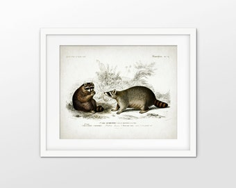 Raccoon Art Print - Antique Raccoon Illustration - Raccoon Wall Art - Forest Animal - Raccoons - Single Print #1782 - INSTANT DOWNLOAD