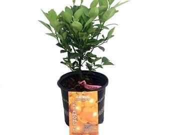 """Panama Orange Tree - Calamondin - Citrus mitis - 8"""" Pot - Citrus"""