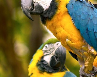 Blue and Gold Macaw Photography Print, Exotic Wildlife Art for Home Decor, Bird and Animal Wall Art
