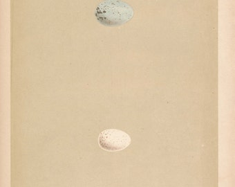 1859 Bird Egg Antique Print, Nuthatch
