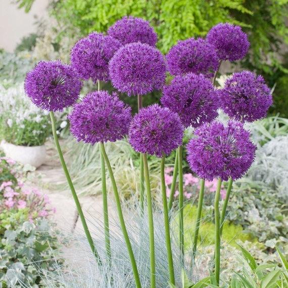 allium 39 purple sensation 39 ornamental onion bulbs 3ft. Black Bedroom Furniture Sets. Home Design Ideas