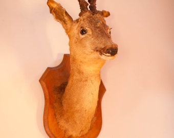 Vintage French Taxidermy Deer Head