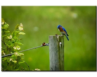 Bluebird - Nature Photography Print