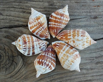 Sea snail loose conch