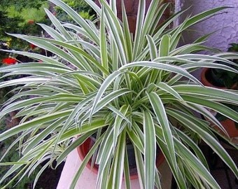 """Reverse Variegated Spider Plant - Easy to Grow - Cleans the Air - 4""""ceramic Pot color red (FREE SHIPPING)"""