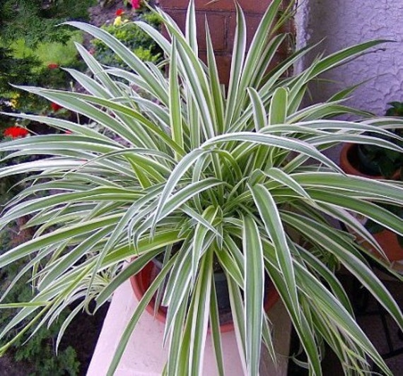 Spiderplant Care: Reverse Variegated Spider Plant Easy To Grow Cleans The
