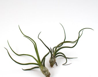 Tillandsia Air Plant | Bulbosa