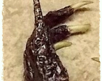 One Real Alligator Foot - Animal Curio - Luck, Money, Gambling, Lottery