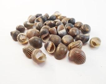 "25 Mixed Nerita Columbella Shells Seashells 1/2"" Craft Beach Wedding Coastal Cottage"