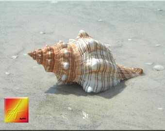 "Large Horse Conch Shell Seashell (about 8"") Beach Nautical Ocean Seaside Decor"