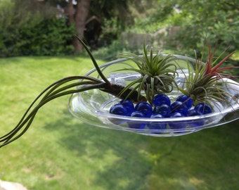 Three Air Plants with Versatile Suction Cup Holder