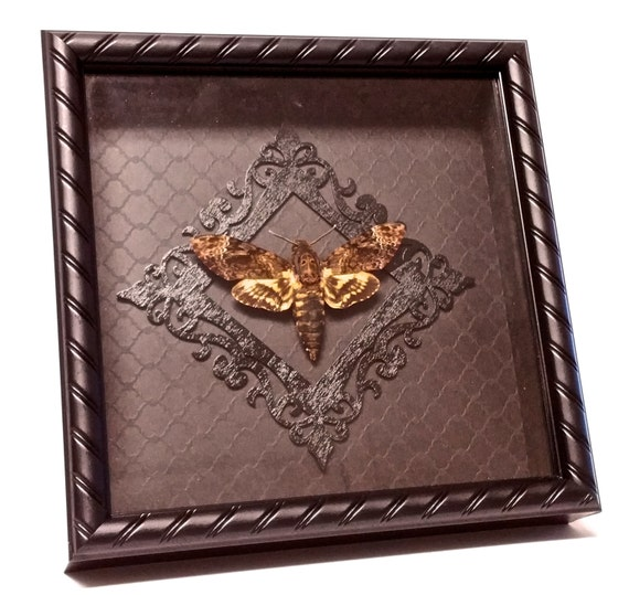 deaths head moth shadow box insect oddities by wearableoddities. Black Bedroom Furniture Sets. Home Design Ideas