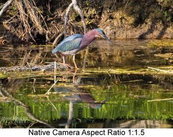 Green Heron #2: Bird art photography prints for home or office wall decor.