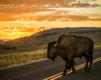 Bison at sunset. Lamar Valley, Yellowstone, WY