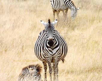 Downloadable Image | Zebras | Serengeti National Park | Tanzania | Instant Download JPEG