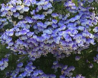 Psoralea Pinnata Shrub, Cold Hardy Kool Aid Bush or Small Tree, 8 Seeds