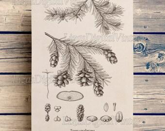 Antique art, Botanical print, Tree art, Vintage prints, Hemlock, Conifer print, Instant download art, Wall art, Printable art, JPG PNG files