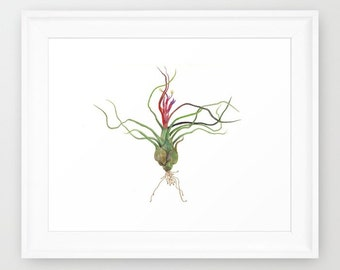 "Tillandsia Airplant Watercolor Painting Art Print (8.5x11"")"