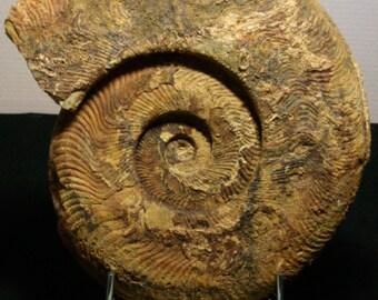 Fossil ammonite Harpoceras nickname-serpentinum