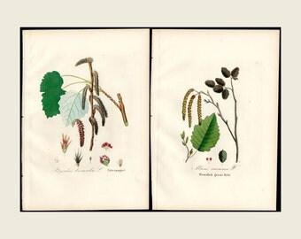 1880 2x Alder & Poplar, Dietrich Forest Flora Hand Color Copper Plate Engraving Authentic Antique Forest Botanical Prints 2 Prints