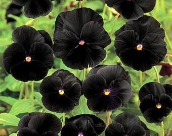 Black Clear Crystals Viola Pansy Flower Seeds/Biennial  35+